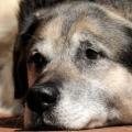 """Veterinaria: """"Efficacia della terapia omeopatica in cani ipertesi e cardiopatici con degenerazione mixomatosa della valvola mitrale MMVD""""."""